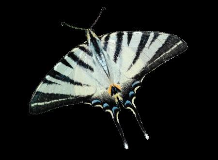 PAPALLONA-08